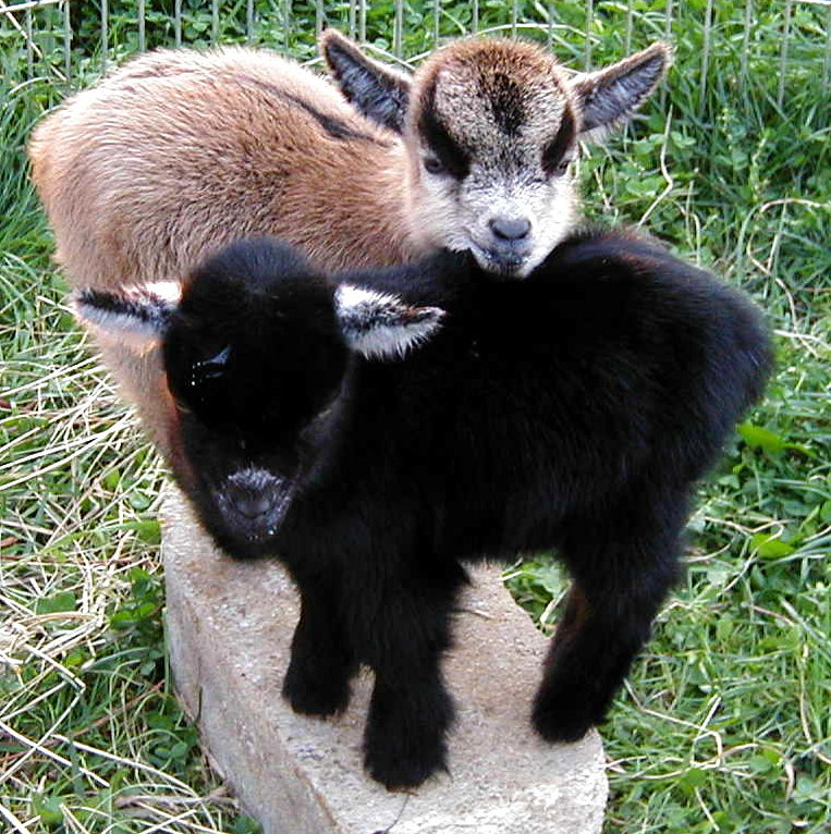 13 Baby Pygmy Goats That Will Melt Any Cold Heart